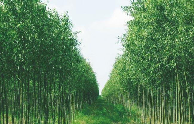 竹柳的种植密度是杨树的6-8倍.